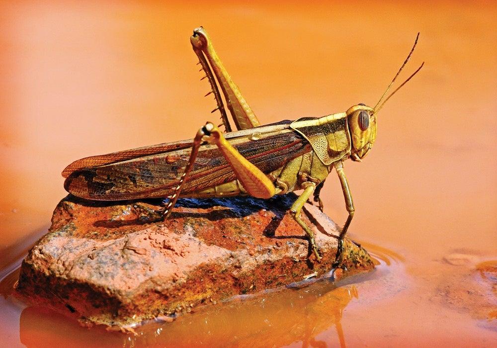 en.wikipedia.org/wiki/Locust