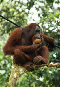 What Does �� Orangutan Emoji Mean
