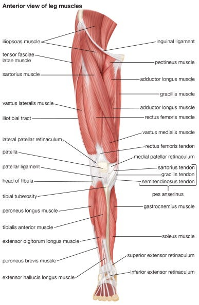 Voluntary Muscle Definition Of Voluntary Muscle At Dictionary Com